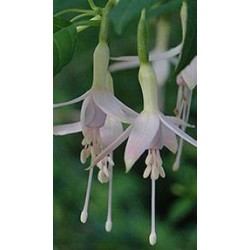 FUCHSIA 'Mrs. W.P. Wood'