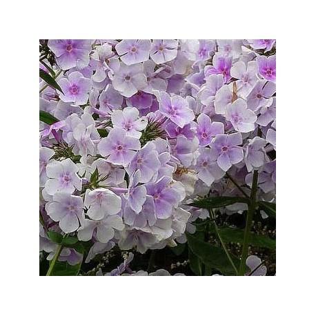 PHLOX paniculata 'Lavendelwolke'