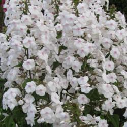 PHLOX maculata 'Delta'