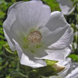 Iliamna grandiflora