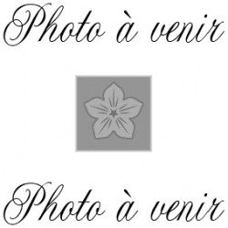 PHLOX paniculata 'Violet Flame'