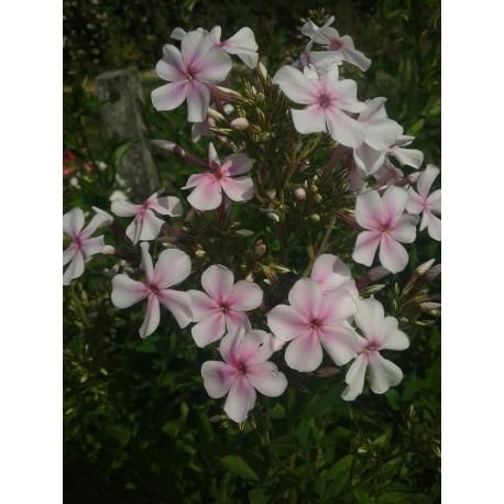 PHLOX paniculata 'White Star'