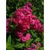 PHLOX paniculata 'Pink Dream'