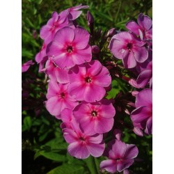 PHLOX paniculata 'Big Bang'