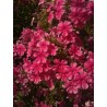 PHLOX paniculata 'Girly'