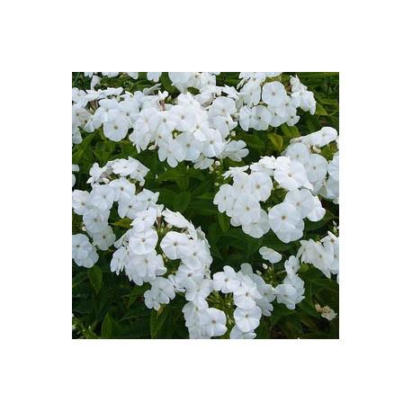 PHLOX maculata x glaberrima 'Minnie Pearl'