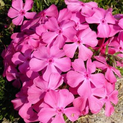 PHLOX subulata 'Mc Daniel's Cushion'