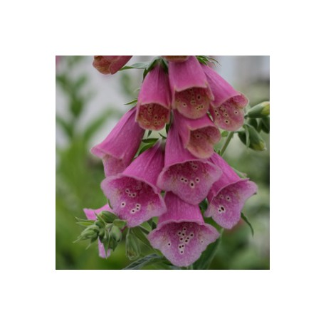 DIGITALIS 'Polkadot Princess'