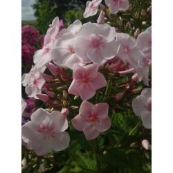 PHLOX paniculata 'Softness'