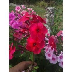 PHLOX paniculata 'Big Slap'