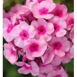 PHLOX x arendsii 'Baby Face'