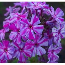 PHLOX paniculata 'Autumn Joy'