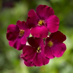 Aubretia 'Axcent Burgundy'