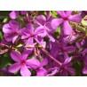 Phlox glaberrima ssp. interior 'Hermann Fuchs'