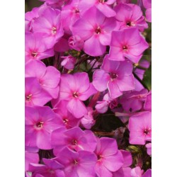 PHLOX amplifolia 'Christine'