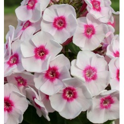 PHLOX paniculata 'Younique Trendy'