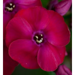 PHLOX paniculata 'Strawberry Daiquiri'