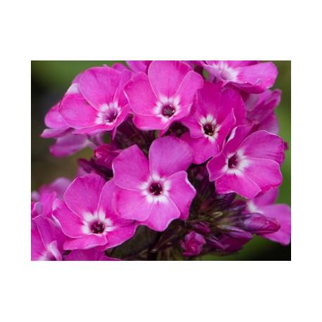 PHLOX paniculata 'Sweet William'