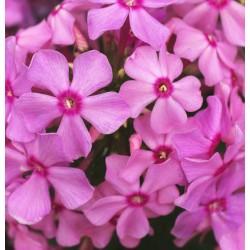 PHLOX paniculata 'Sweet Summer Melody'