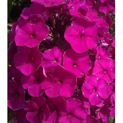 PHLOX paniculata 'Ultra Violet'