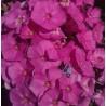 PHLOX paniculata 'Rosy'