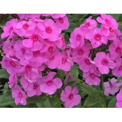 PHLOX amplifolia 'Winnetou'
