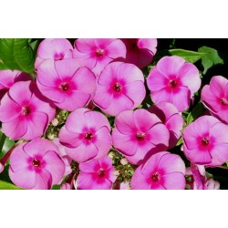 PHLOX paniculata 'Adessa Pink Eye'