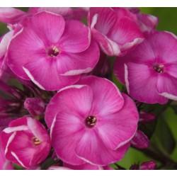 PHLOX paniculata 'Betty Marguerite'