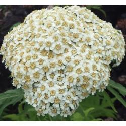ACHILLEA grandiflora