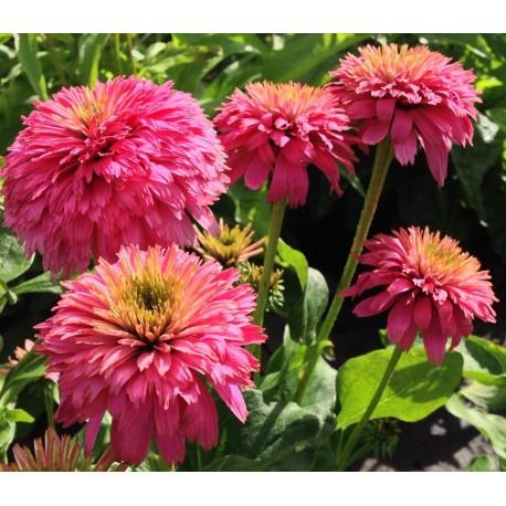 ECHINACEA 'Pink Bonbon'