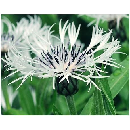 CENTAUREA montana 'Lady Flora Hastings'
