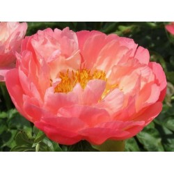 PAEONIA 'Coral Sunset'